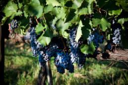 Uva, Vino, Grappoli, Farmhouse, Wine